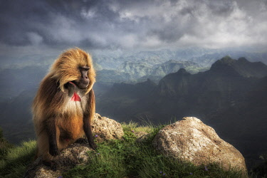 CLKMG95787 Gelada baboon in Simien Mountains National Park, Northern Ethiopia