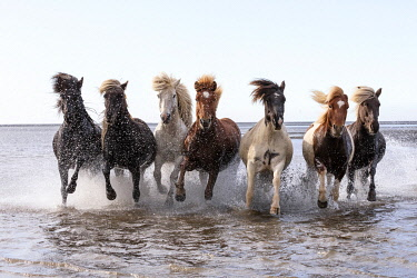 ICE4112AW Icelandic horses running across a lake, South Iceland