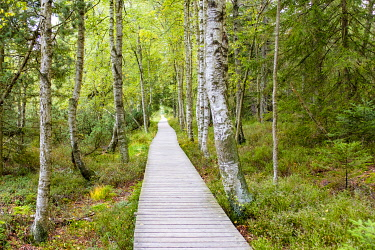 GER11547AW Wildseemoor, Gernsbach, Baden-Wurttemberg, Germany. Wooden boardwalk though the moor.