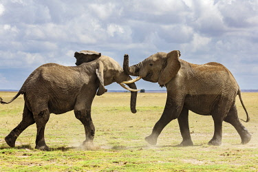 KEN11395 Kenya, Amboseli, Kajiado County.  Two bull elephants spar for dominance.