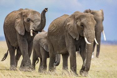 KEN11398 Kenya, Amboseli, Kajiado County.  A family of elephants crossing the Amboseli plains.