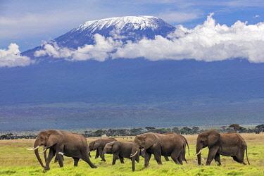 KEN11408 Kenya, Amboseli, Kajiado County.  A herd of elephants crosses open plains with snow-capped Mount Kilimanjaro in the background.