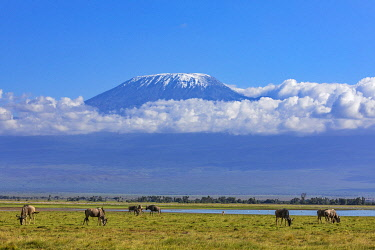 KEN11419 Kenya, Amboseli, Kajiado County.  Snow-capped Mount Kilimanjaro, Africa's highest mountain, with White-bearded Wildebeest grazing in the foreground.