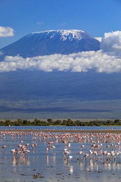 KEN11421 Kenya, Amboseli, Kajiado County.  Snow-capped Mount Kilimanjaro, Africa's highest mountain, with flocks of flamingos in the foreground.