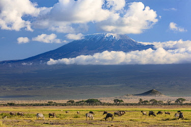 KEN11422 Kenya, Amboseli, Kajiado County.  Snow-capped Mount Kilimanjaro, Africa's highest mountain, with White-bearded Wildebeest and common Zebras grazing in the foreground.