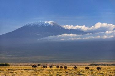 KEN11423 Kenya, Amboseli, Kajiado County.  Snow-capped Mount Kilimanjaro, Africa's highest mountain, with White-bearded Wildebeest in the foreground.