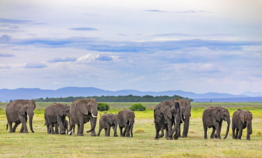 KEN11424 Kenya, Amboseli, Kajiado County.  A herd of elephants crosses open plains away from Amboseli Swamp.