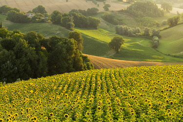 ITA13642AW Italy, Marche. Macerata district. Corridonia. Sunflower field near Corridonia Village.