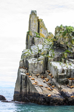 USA14014 USA, Alaska, Kenai Fjords National Park, Resurrection Bay.  Sea Lions relaxing on a rock.
