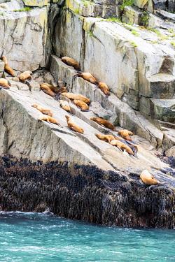 USA14016 USA, Alaska, Kenai Fjords National Park, Resurrection Bay. Sea Lions relaxing on a rock.