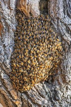 BNN0235 Benin, Pendjari National Park, North western Benin.  African honey bees swarm in a tree.