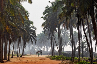 BNN0188 Benin, Grand Popo, Mono Department.  An early morning scene with villagers carrying coconut husks through coconut palms beside Grand Popo beach.