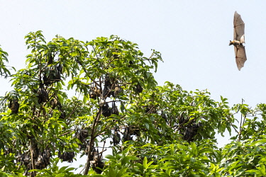 TOG0048AW Africa, Togo, Kloto, Kpalimè area. Fruitbats flying and hanging in a tree