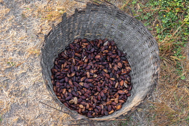 TOG0059AW Africa, Togo, Kloto, Kpalimè area. A basket of cocoa beans.