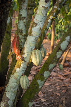 TOG0060AW Africa, Togo, Kloto, Kpalimè area. A cocoa plantation