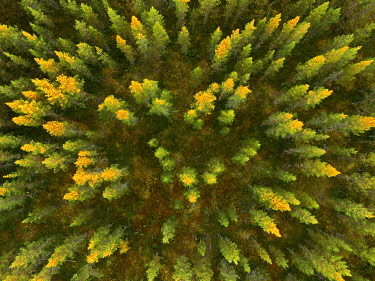 IBXGZS04808433 Drone shot, Larches (Larix) with autumnal yellow coloration in wetland, Sodankylä, Lappi, Finland, Europe
