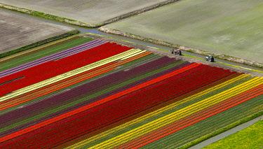 IBLBLO03731931 Tulip fields, aerial view, Noord-Beemster, Beemster, province of North Holland, The Netherlands, Europe