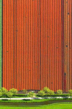 IBLBLO03731960 Tulip field, aerial view, Spierdijk, Wester-Koggenland, province of North Holland, The Netherlands, Europe