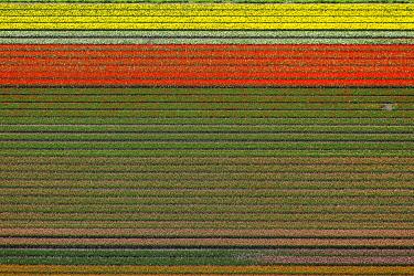 IBLBLO03731887 Tulip fields, aerial view, Zuidoost-Beemster, Beemster, province of North Holland, The Netherlands, Europe