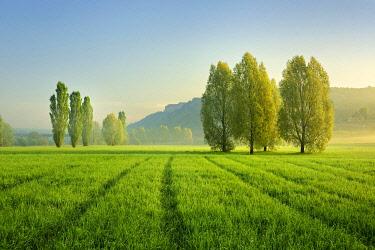 IBLAVI04809904 Morning atmosphere in Unstrut Valley, poplars on green meadows, morning fog, Freyburg (Unstrut), Saxony-Anhalt, Germany, Europe