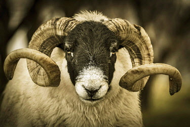IBXSEI04810689 Scottish Blackface Domestic sheep (Ovis gmelini aries) with big horns in a meadow, animal portrait, Isle of Sky, Scotland, United Kingdom, Europe