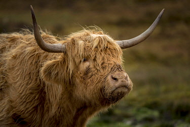 IBXSEI04810766 Scottish Highland Cattle (Bos taurus), animal portrait, Scotland, United Kingdom, Europe