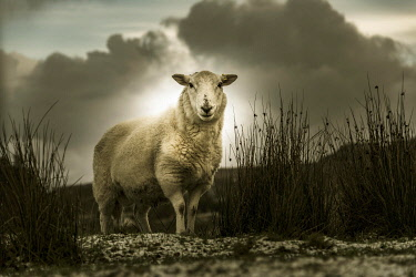 IBXSEI04810819 Scottish Domestic sheep (Ovis gmelini aries) in a meadow, Isle of Sky, Scotland, United Kingdom, Europe