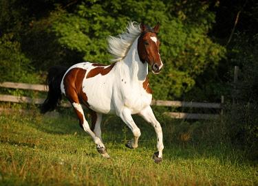 IBXSKS02437636 Wiekopolska, gelding, skewbald horse, galloping across a meadow
