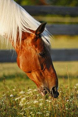IBXSKS02437640 Wiekopolska, gelding, skewbald horse, grazing, portrait