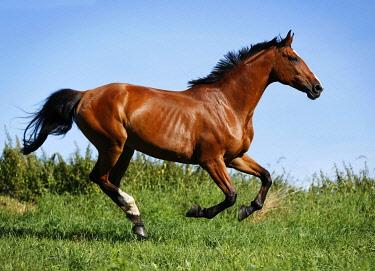 IBXSKS02451803 Brown mare, Wielkopolska, Polish warmblooded horse, galloping across a meadow