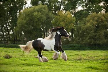 IBLAPG02439911 Irish Tinker galloping across a meadow
