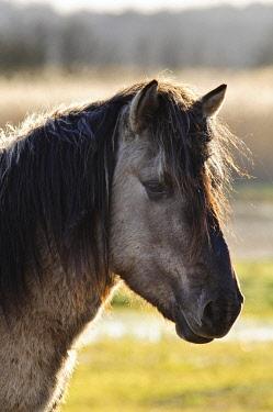 IBLFLP02385316 Konik Horse (Equus caballus gemelli), adult, close-up of head, in coastal wetland, Minsmere RSPB Reserve, Suffolk, England, United Kingdom, Europe