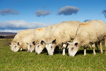 IBLFLP02385606 Domestic Sheep, Blue-faced Leicester, ewes, flock grazing spring grass, Scotland, United Kingdom, Europe