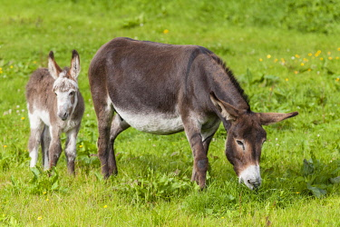 IBLSRF02443225 Donkey (Equus asinus asinus), mare and foal, County Clare, Republic of Ireland, Europe