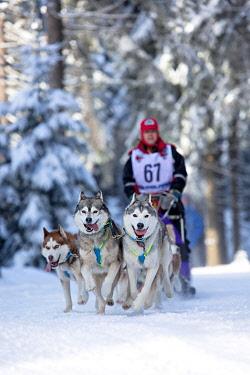 IBLVTH03077131 Sled dog team, Trans Thueringia 2013, annual sled dog race, MASSERBERG, Thuringia, Germany, Europe