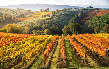 ITA13754AW Sagrantino di Montefalco Vineyards in autumn, Umbria, Italy