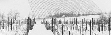 ITA13767AW Lambrusco Grasparossa vineyards under snow during winter in Calstelvetro di Modena, Emilia Romagna, Italy