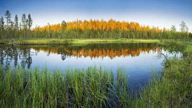 IBXGZS04808297 Sunset, sunlit forest reflected in the lake, high grass on the shore, Lappi, Finland, Europe