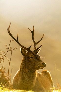 IBXSEI04810498 Red deer (Cervus elaphus) in soft morning light, Glen Coe, Fort William, Highlands, Scotland, United Kingdom, Europe