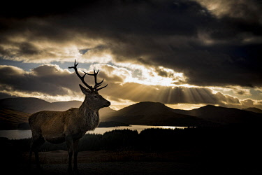 IBXSEI04810539 Red deer (Cervus elaphus) backlit, Glen Coe, Fort William, Highlands, Scotland, United Kingdom, Europe