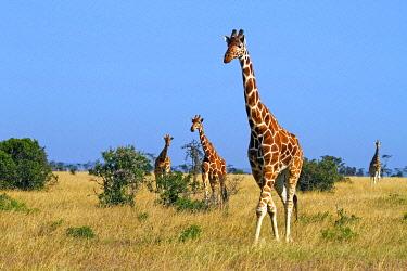 IBLHCO04789312 A group of Reticulated giraffes (Giraffa camelopardalis reticulata) roams the savannah, Samburu National Reserve, Kenya, Africa