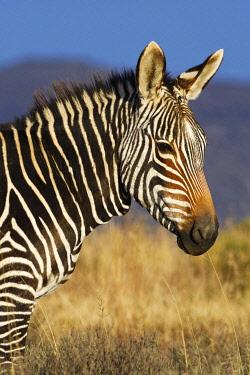 IBLJED04809778 Cape mountain zebra (Equus zebra zebra), adult, standing in open grassland, animal portrait, Mountain Zebra National Park, Eastern Cape, South Africa, Africa