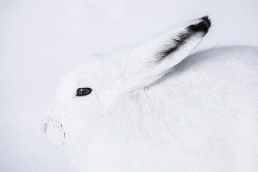 CLKMG103892 Arctic hare (Lepus arcticus) in Northern Manitoba, Canada