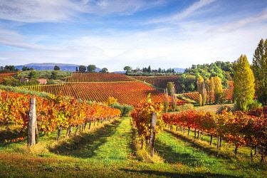CLKST99277 Montefalco Sagrantino vineyards, Montefalco, Perugia province, Umbria, Italy