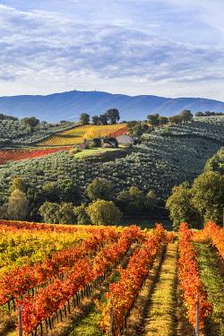 CLKST99517 Sagrantino vineyards during autumn, Montefalco, Perugia province, Umbria, Italy