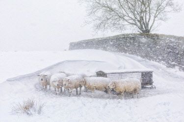 ENG16144AW England, West Yorkshire, Calderdale. Sheep in snow drifts near Hebden Bridge.