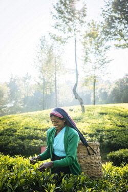 SRI2219AW Selvanayagie working as a Tea Picker in Pedro Tea Plantation in the Highlands, Nuwara Eliya, Central Province, Sri Lanka, Asia