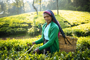 SRI2221AW Selvanayagie working as a Tea Picker in Pedro Tea Plantation in the Highlands, Nuwara Eliya, Central Province, Sri Lanka, Asia