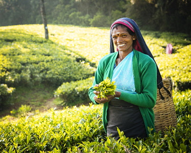 SRI2223AW Selvanayagie working as a Tea Picker in Pedro Tea Plantation in the Highlands, Nuwara Eliya, Central Province, Sri Lanka, Asia