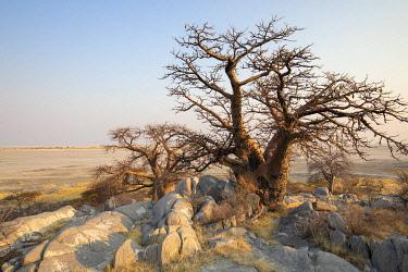 BOT5410 Baobab trees, Kubu Island, Makgadikgadi Pans, Botswana
